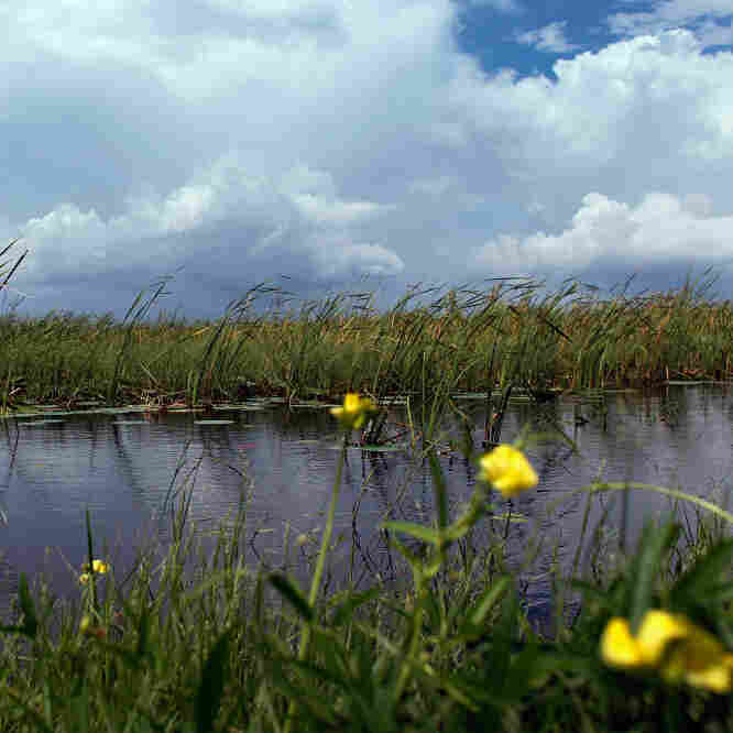 In Fla., Cautious Hope For Everglades Protection