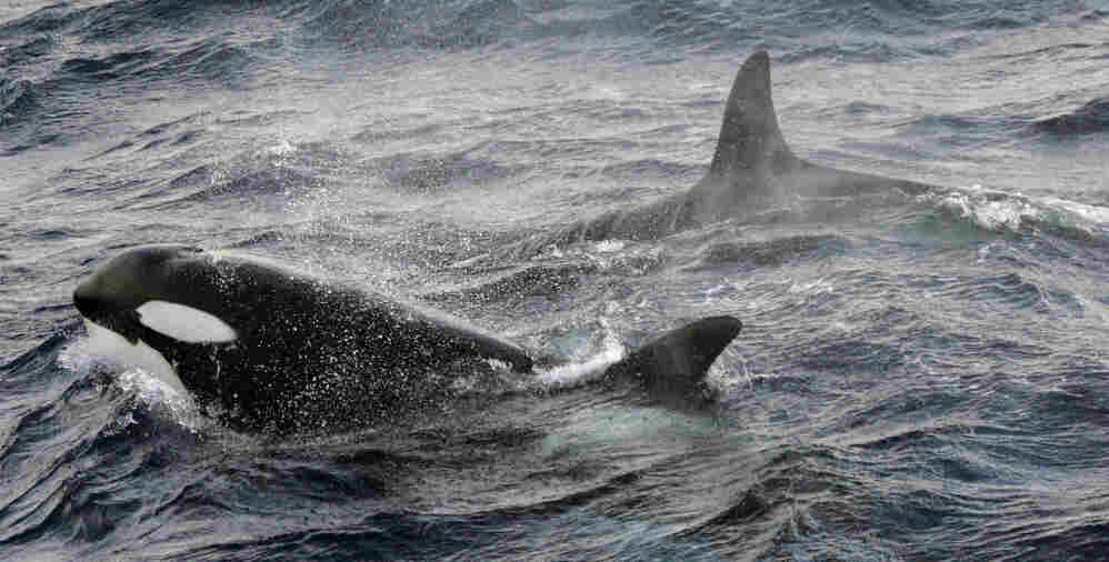 Two killer whales swim in the austral seas off the Crozet Archipelago.