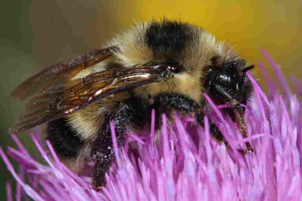 Cockerell's Bumblebee.