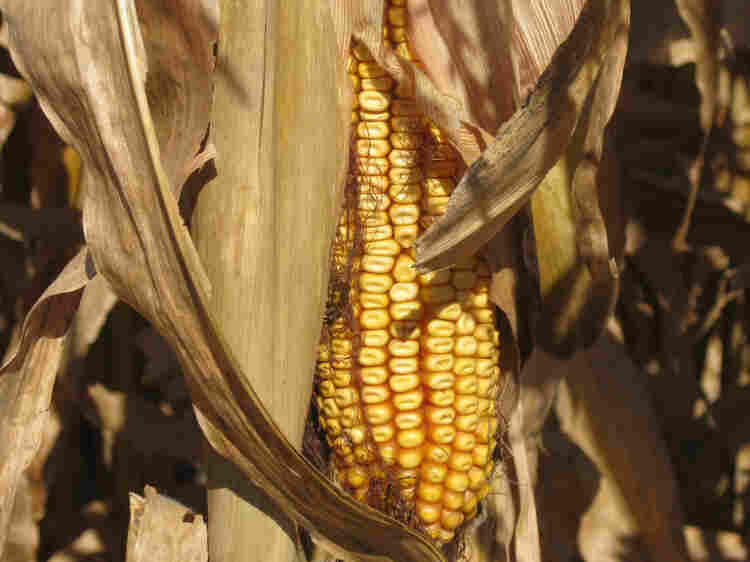 Scientists say the corn rootworm is growing resistant to Bt corn.