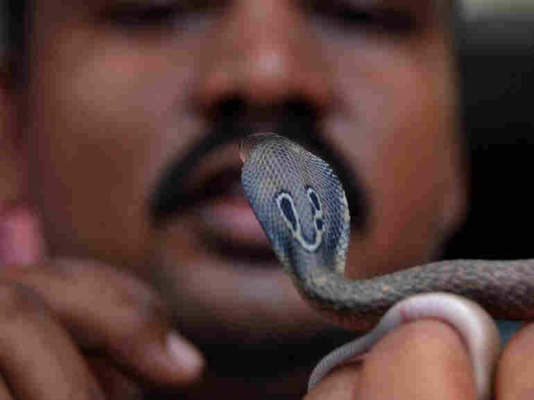 Snake handler Subhendu Malllik holds up an Indian baby cobra hatchling after it emerged from an egg on the outskirts of Bhubaneswar, India, in June. The venomous snake is indigenous to South Asia.