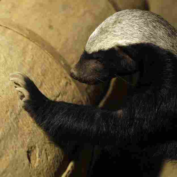 Off the football field, the honey badger can rip the head off a cobra.