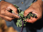 A farm worker inspects organic kale at the Grant Family Farms  in Wellington, Colo.