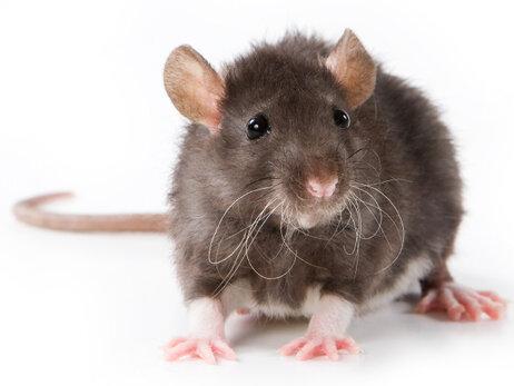 http://media.npr.org/assets/img/2011/12/08/rat-987c78e8f6d5124306d52a0a978ad8853a9d8988-s3-c85.jpg