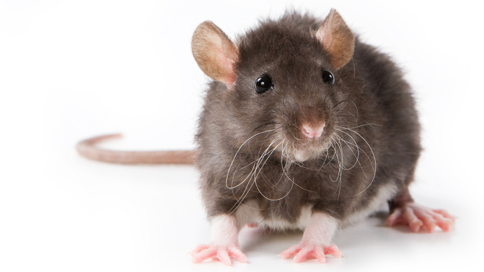 A new study finds that rats will intentionally work to free a trapped pal.  (iStockphoto.com)