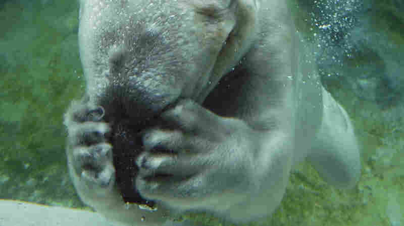 Willy the polar bear is photographed at the North Carolina Zoo