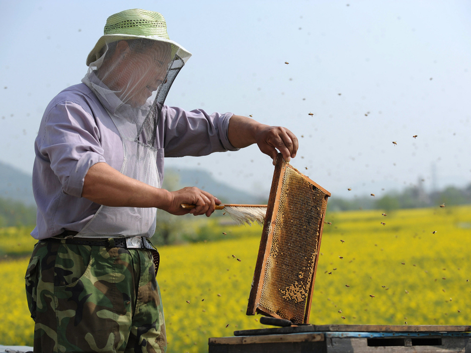 A Chinese beekeeper harvests honey beside a rapeseed field in Anhui province. China is a major producer of honey and bee products.