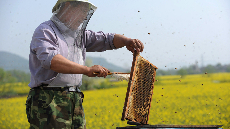A Chinese beekeeper harvests honey beside a rapeseed field in Anhui province. China is a major producer of honey and bee products. (AFP/Getty Images)
