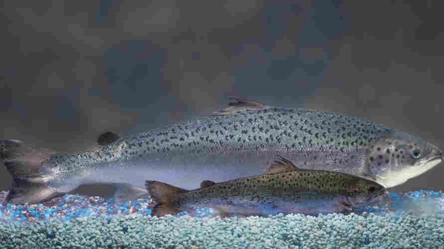 An AquAdvantage salmon behind a non-transgenic Atlantic salmon sibling of the same age.