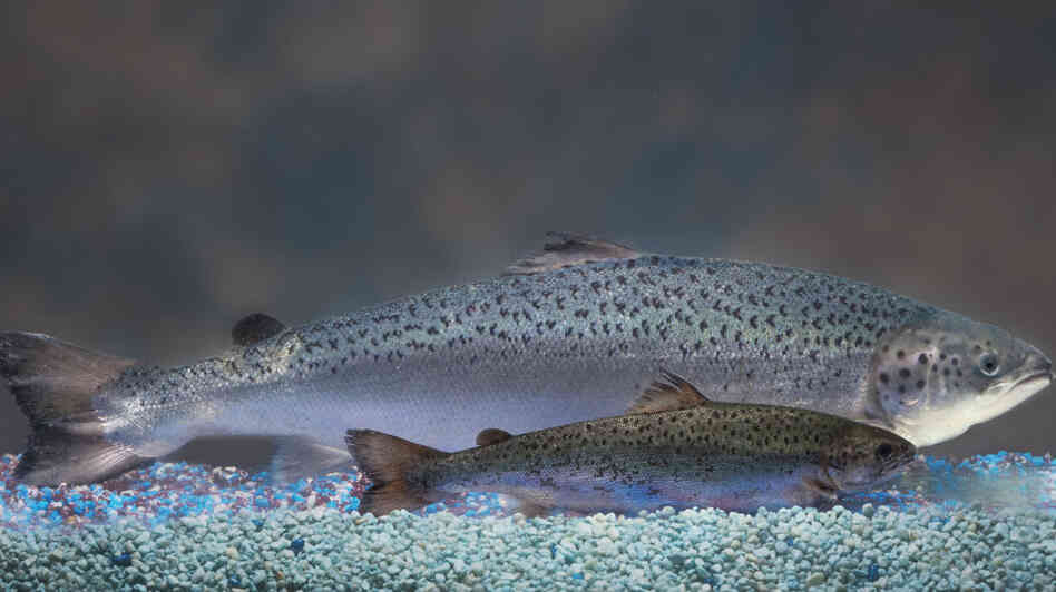 An AquAdvantage salmon behind a non-transgenic Atlantic salmon sibling of the same age.