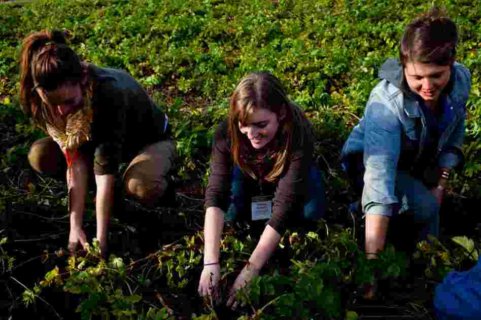 Young farmers get their hands dirty picking parsnips while singing worksongs during  a workshop  at the 2011 Young Farmers Conference.