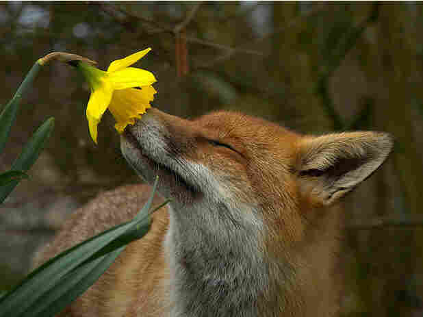 Pickles the fox smelling the daffodil.