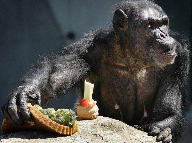While the United States continues to use chimpanzees in biomedical research, other countries have stopped the practice. This chimpanzee is one of 13 previously used by the Dutch for animal testing. The group was moved in 2006, when this photo was taken, to a retirement facility. (AFP/Getty Images)