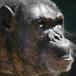Retirement Home Or Research Lab? Report Weighs Fate Of U.S. Chimpanzees