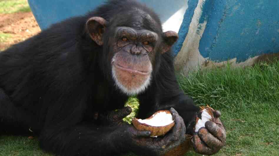 A chimpanzee eats a coconut at the Alamogordo Primate Facility at