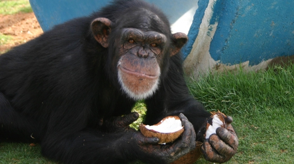A chimpanzee eats a coconut at the Alamogordo Primate Facility at Holloman Air Force Base, N.M., in an undated photo from the National Institutes of Health. A plan to move chimps that had retired to the facility after being subjects of medical experiments sparked controversy and a review of research policies. (AP)