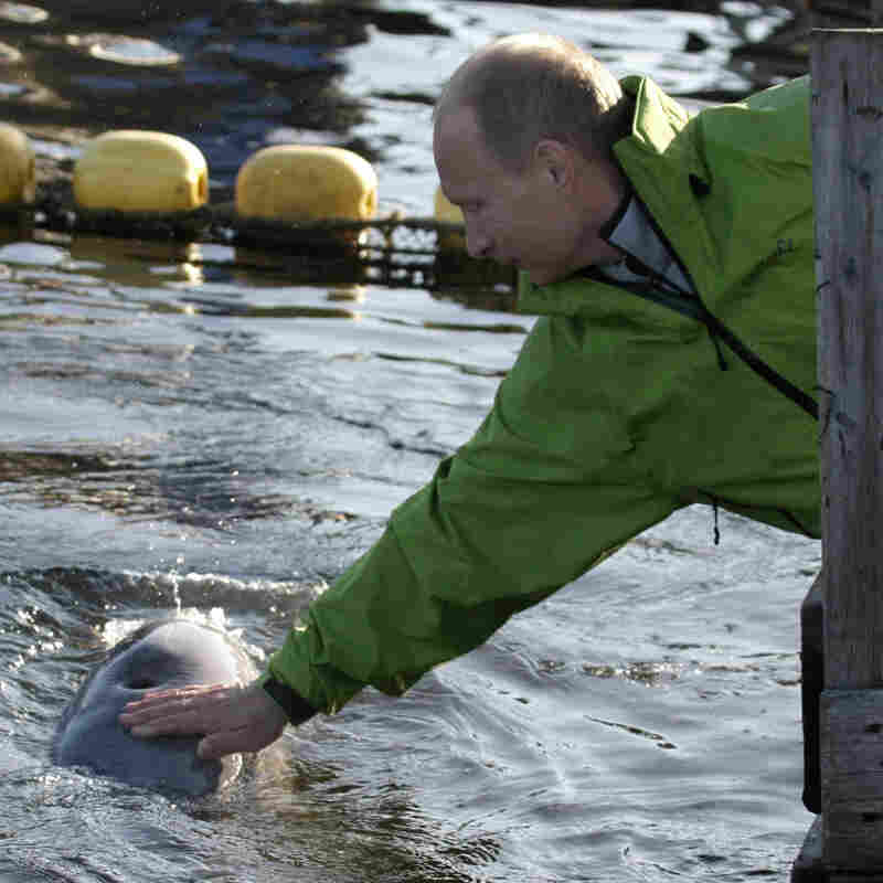 Russian Prime Minister Vladimir Putin strokes a beluga whale.