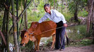 A man with a cow in Dong Thap province in southern Vietnam. He got the cow from Heifer International — as well as training and resources to care for it.