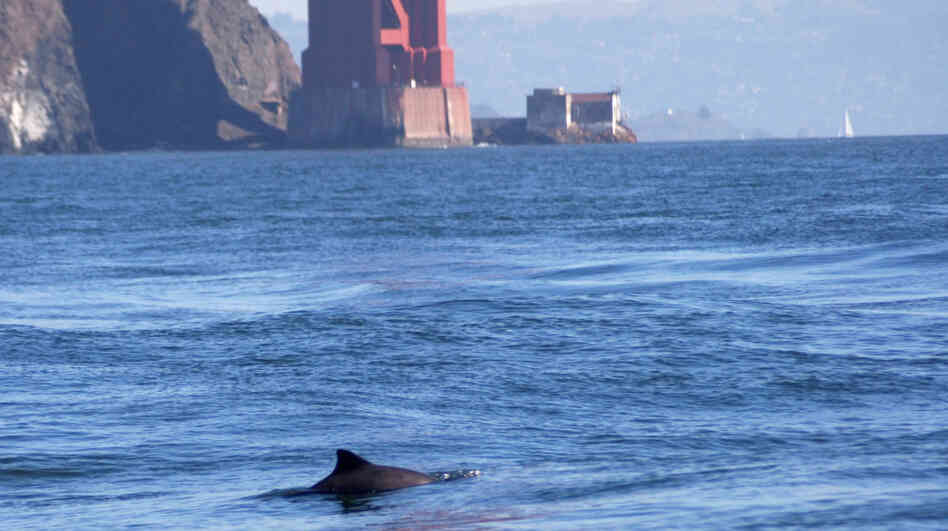 A harbor porpoise comes up for air near the Golden Gate Bridge. The porpoises are returning to the bay in growing numbers after a 60-year absence.