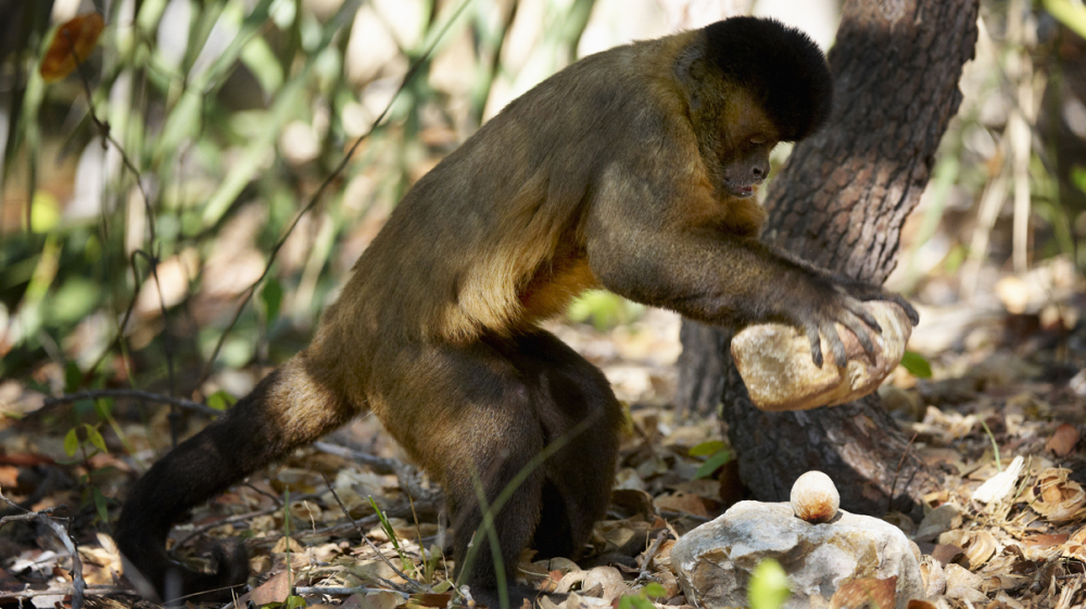 self control and tool use in tufted capuchin monkeys essay A lack of self-control, also called impulsivity, is said to be a central factor in many human problems, such as failures at school, depression and criminal tendencies [2.