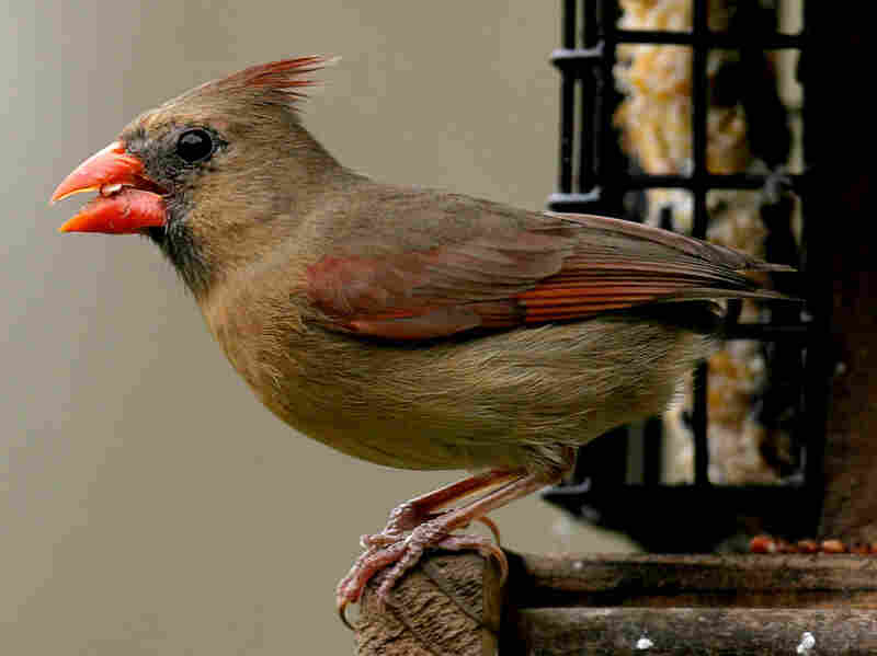 Northern cardinals have higher-pitched songs, but those sounds can get garbled in cities, so they've started to sing a little lower.