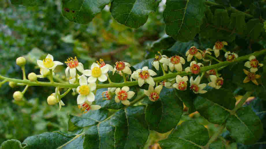 Frankincense comes from the Boswellia sacra tree, which grows mainly in the Horn of Africa. The number of trees that produce the fragrant resin could decline by 90 percent in the next 50 years.