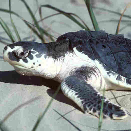 A Kemp's ridley sea turtle like this one traveled 4,600 miles across the Atlantic ocean in 2008. After being rehabilitated in Portugal, it is being reintroduced into its native Gulf of Mexico waters on Tuesday.