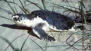 Endangered Turtle Survives Trans-Atlantic Journey