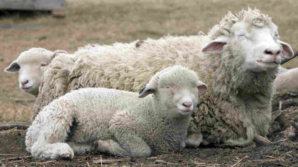 A sheep rests in a pasture with its two lambs in Plainfield, Vt., Monday, April 5, 2010.