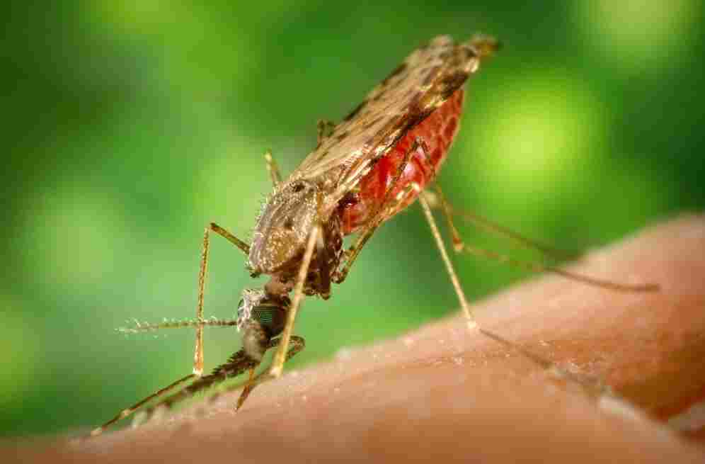 An Anopheles albimanus mosquito, which is an important vector for malaria transmission in Central America.
