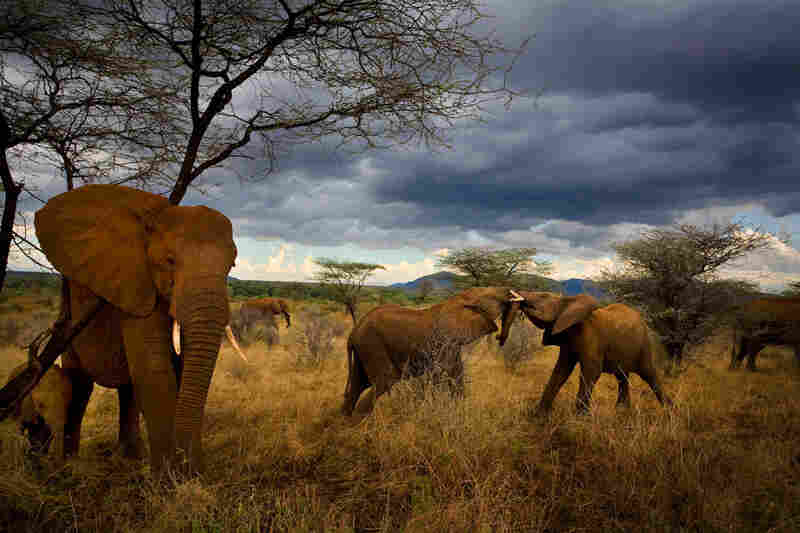 Surrounded and protected by adult females, younger elephants play and mock fight. Samburu National Reserve, Kenya, 2007