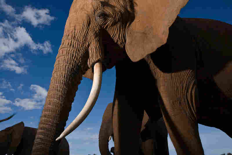 """""""After two decades in Central Africa working with frightened aggressive elephants,"""" Nichols writes, """"I was given the gift of a year with the Save the Elephants research project in Kenya. Samburu National Reserve, Kenya, 2007"""