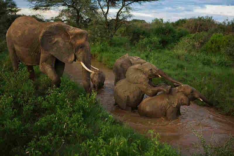 Saturn, an elderly mother, cares for two calves orphaned after the deaths of their mothers, who were Saturn's adult daughters. The extended family structure helps elephants cope with such losses. Samburu National Reserve, Kenya, 2007
