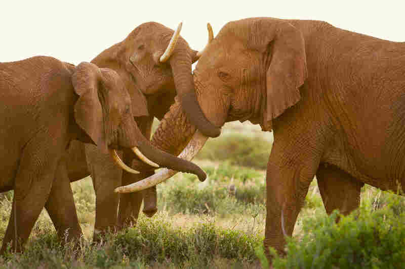 Maya and her oldest daughter affectionately greet Boone, a formidable bull who spends most of his time east of the reserve. Neither of the females are in estrus, so it is not a sexual meeting, but seems to be full of admiration. Samburu National Reserve, 2007