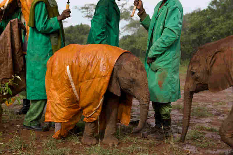 """""""For many years I photographed wild elephants that were afraid of humans because of endemic elephant poaching,"""" Nichols writes. """"As a final chapter I asked National Geographic to allow me to photograph the Orphans Project led by Daphne Sheldrick. Nairobi, 2010"""