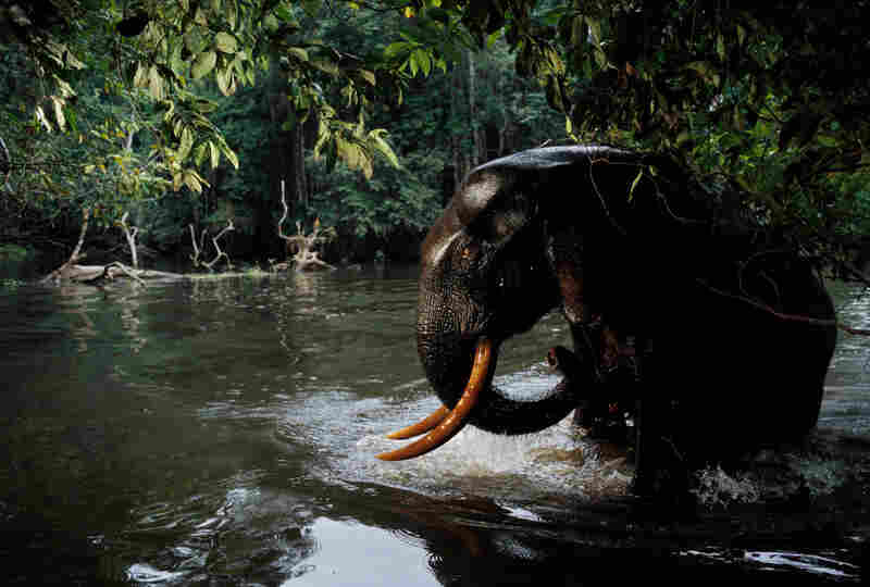 Days of planning and the placement of an infrared camera trap produced rare images of an adult elephant in the deep forest, the shot triggered as the bull rose from swimming in a river. Loango National Park, Gabon, 2003