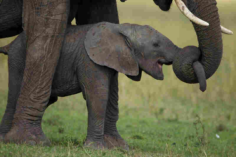 The bond between mothers and calves can endure for 50 years, if uninterrupted by poaching. Lamai Wedge, Serengeti, 2011