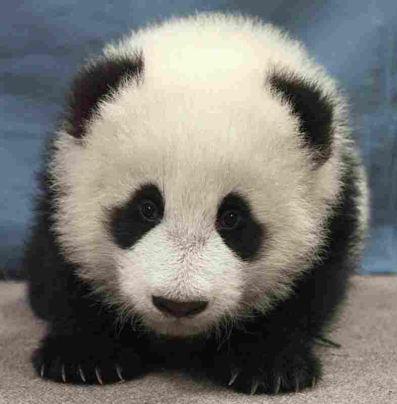 16-week-old giant panda cub, Hua Mei, at the San Diego Zoo.