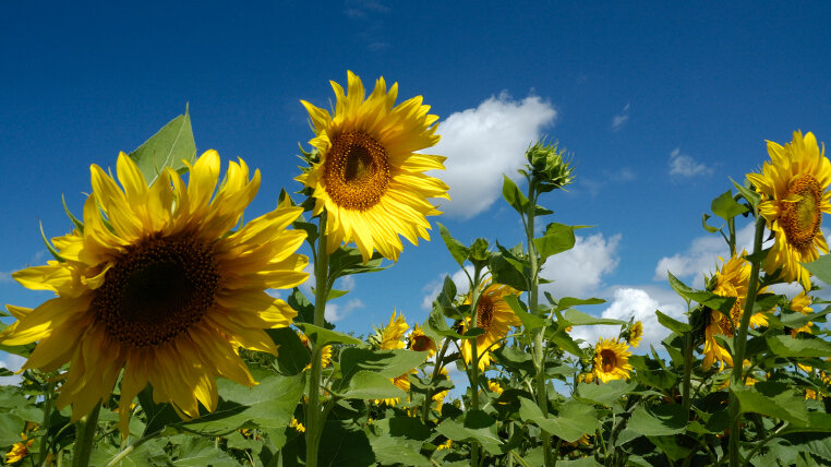 How The Russians Saved Americas Sunflower The Salt Npr