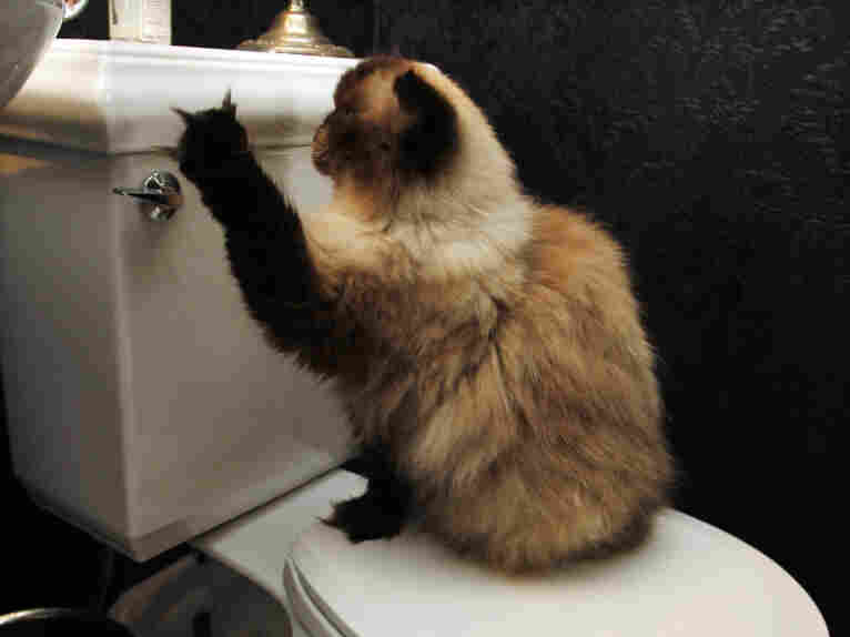 "A cat reaches for a toilet handle at the home of animal trainer Dawn Barkan. Barkan trained all the Himalayan cats who have portrayed Mr. Jinx in the films ""Meet the Parents,"" ""Meet the Fockers"" and ""Little Fockers."