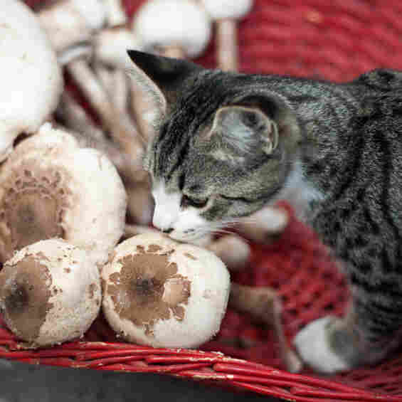 Why do cats have an affinity for mushrooms?