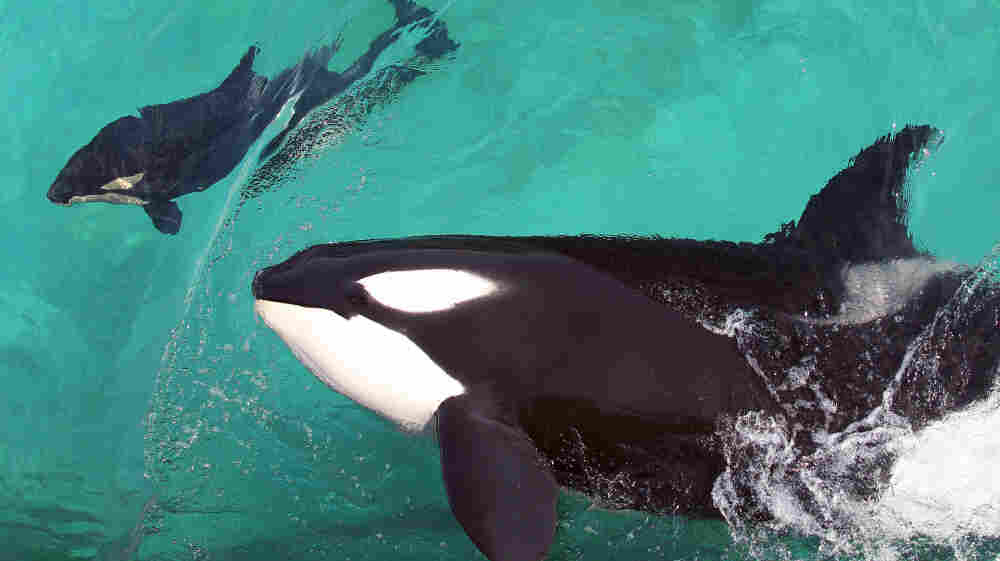 """Orca poop is a """"treasure trove of information,"""" says Sam Wasser, the director of the Center for Conservation Biology at the University of Washington."""