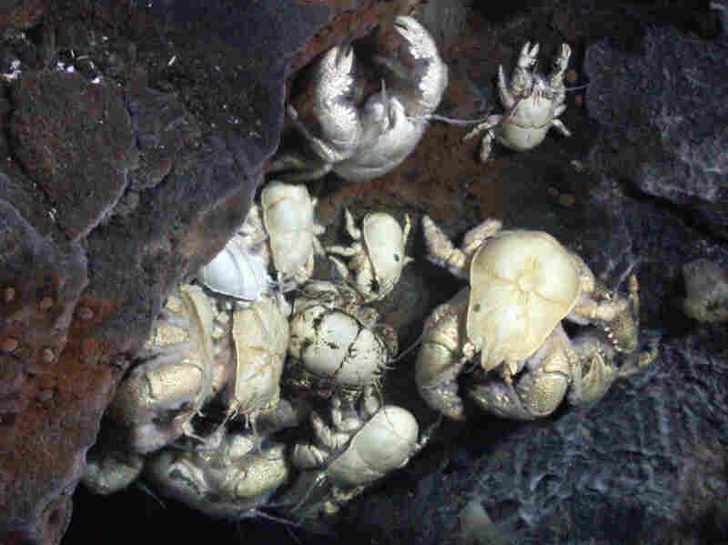 Researchers say the yeti crabs they captured are a new species.