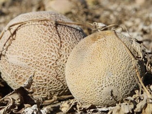 Melons were left to rot in the field at Jensen Farms after it was identified as the source of a fatal listeria outbreak.