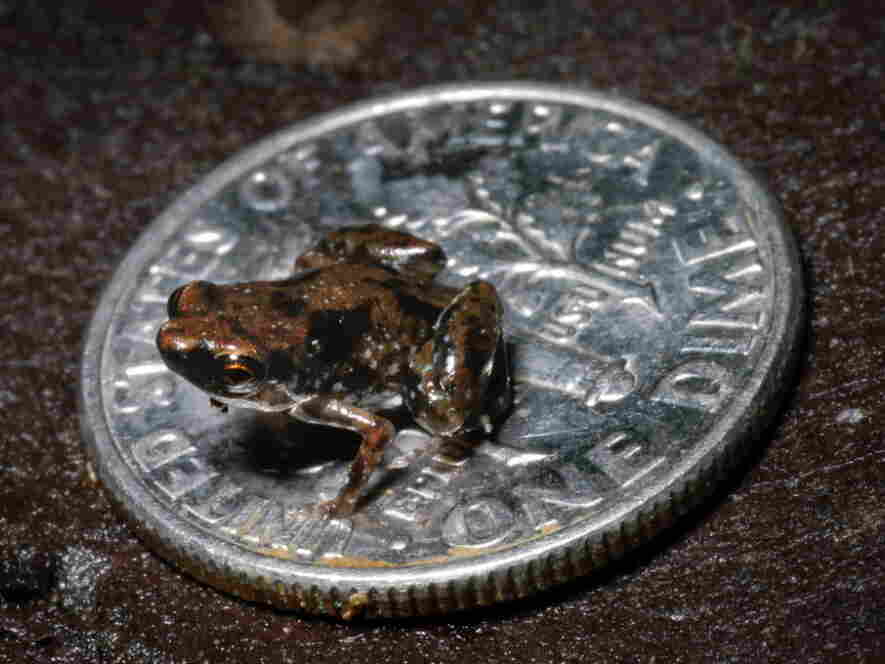 The tiny frog called Paedophryne amauensis, sitting on a dime.