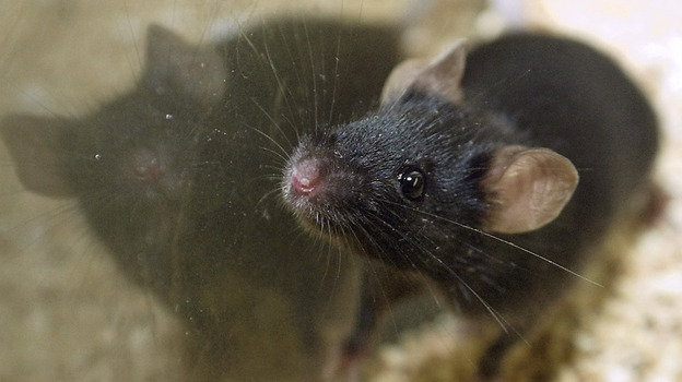 New advice on housing lab rodents has left research centers confused about compliance and worried about the costs. (AP)