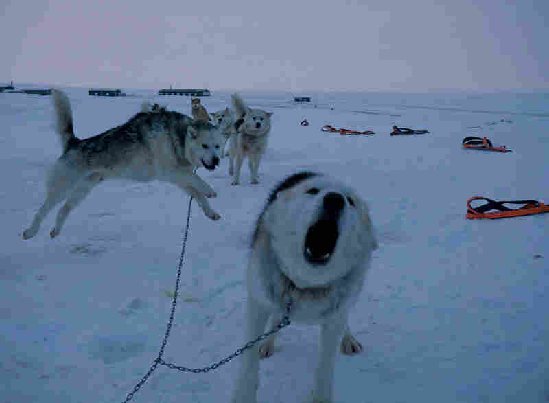 Obedient but with a wild streak, the sled dogs are actually eager to be harnessed and start patrolling. They've been specially bred by the Danish military during the past 60 years to thrive in Greenland's Arctic desert.