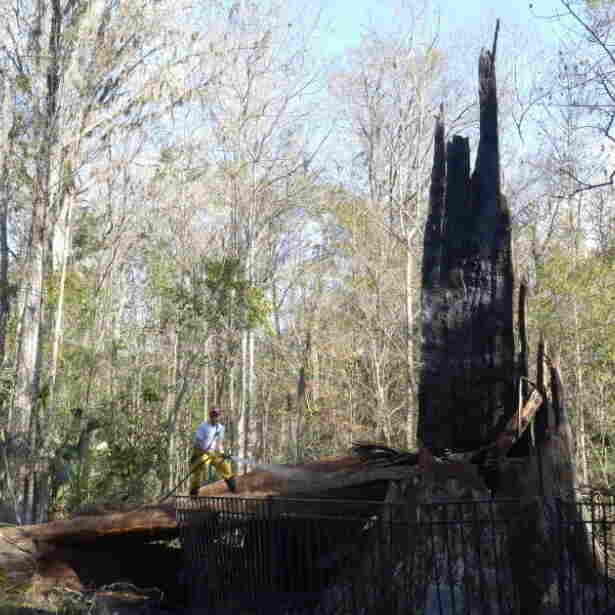 One Of World's Oldest Cypress Trees, 'The Senator,' Burns In Florida