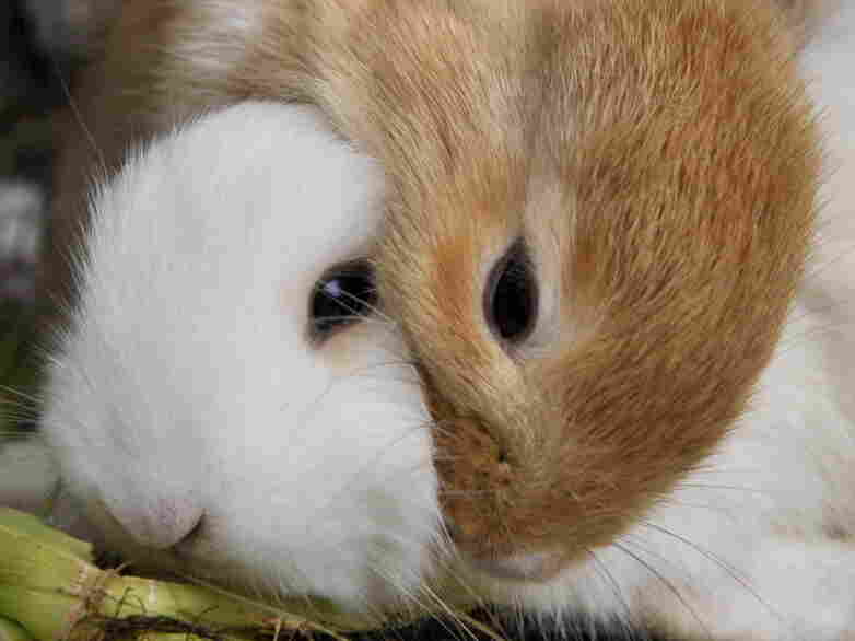 Two rabbits for sale in Indonesia.