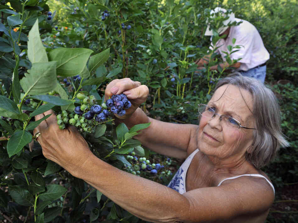 In the summer, Shirley and Ewald August grow blueberries at their Windsor Mill, Md., farm and sell at Baltimore farmers markets.